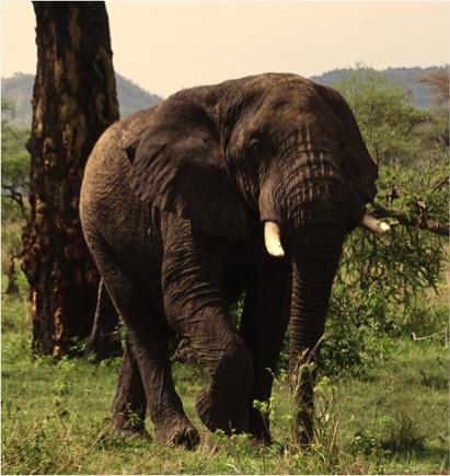 Elefant Serengeti
